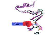 UVA gives a direct punch to DNA